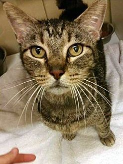 American Bobtail Cat for adoption in College Station, Texas - James