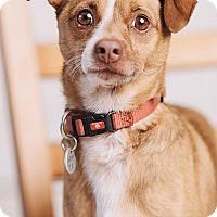 Adopt A Pet :: Coney - Portland, OR
