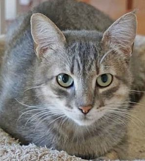 Domestic Shorthair Cat for adoption in Davis, California - Simon Caesar