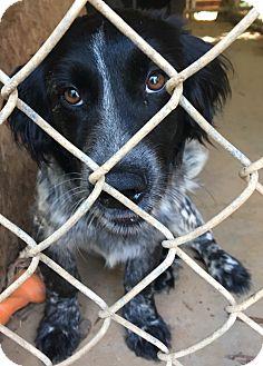 Spaniel (Unknown Type) Mix Dog for adoption in Irmo, South Carolina - Jet