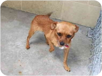 Chihuahua Mix Dog for adoption in San Diego, California - Ginger