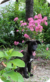German Shepherd Dog/Husky Mix Puppy for adoption in Weeki Wachee, Florida - Pearl