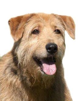 Airedale Terrier Mix Dog for adoption in Glen Allen, Virginia - Sally