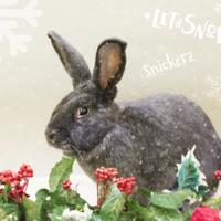 Adopt A Pet :: Snickerz - Annapolis, MD