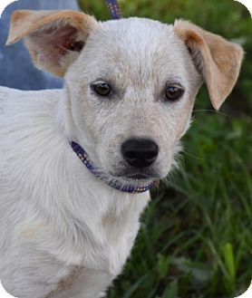 Australian Cattle Dog Mix Puppy for adoption in Texico, Illinois - Punch - Adorable