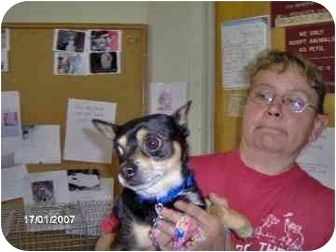 Chihuahua Mix Dog for adoption in Marion, Indiana - BRAD - Adopted