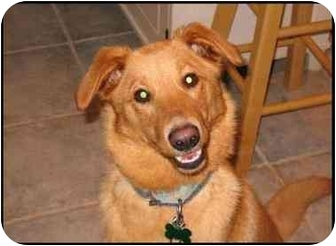 Sheltie, Shetland Sheepdog/Retriever (Unknown Type) Mix Dog for adoption in Northville, Michigan - Shelby