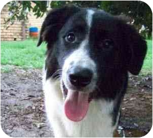 Great Pyrenees/Border Collie Mix Puppy for adoption in Portsmouth, Rhode Island - Ace