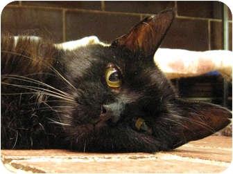 Domestic Shorthair Cat for adoption in Centerburg, Ohio - Clover