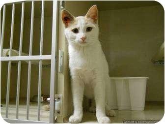 Domestic Shorthair Cat for adoption in Morden, Manitoba - Pancake