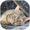 Domestic Shorthair Cat for adoption in Vancouver, British Columbia - Corbett