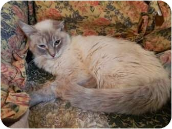 Siamese Cat for adoption in The Colony, Texas - Cassie
