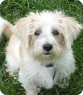 Cairn Terrier/Yorkie, Yorkshire Terrier Mix Puppy for adoption in Omaha, Nebraska - Tanner-pending adoption
