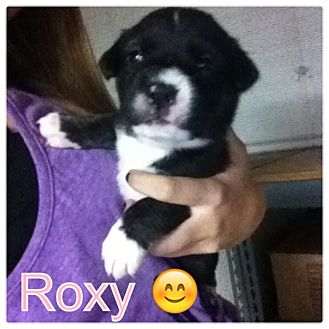 Labrador Retriever/German Shepherd Dog Mix Puppy for adoption in Torrance, California - ROXY
