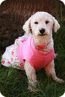 Poodle (Miniature) Mix Dog for adoption in Irvine, California - MILEY