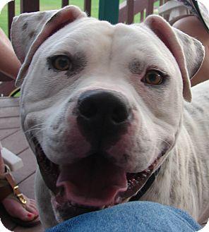 American Bulldog Mix Dog for adoption in Lakewood, Colorado - Phoenix