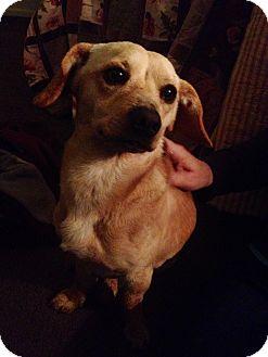 Chihuahua/Beagle Mix Dog for adoption in Woodland, California - Frankie