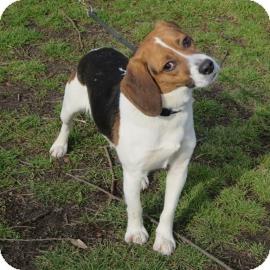 Beagle Dog for adoption in Elizabeth City, North Carolina - Ray Vaughan