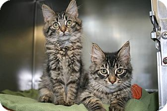 Domestic Mediumhair Kitten for adoption in Jackson, New Jersey - Joe