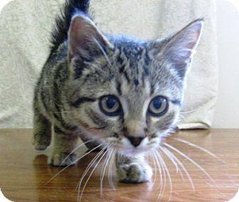 Domestic Shorthair Kitten for adoption in Lloydminster, Alberta - Indy