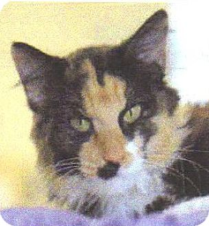 Calico Cat for adoption in Arcadia, California - Lady