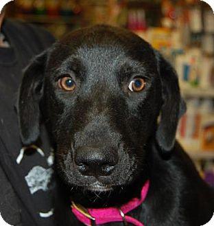 Labrador Retriever Mix Puppy for adoption in Brooklyn, New York - Maple
