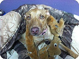 Whippet Mix Dog for adoption in Lisbon, Ohio - Alice Sponsored!!