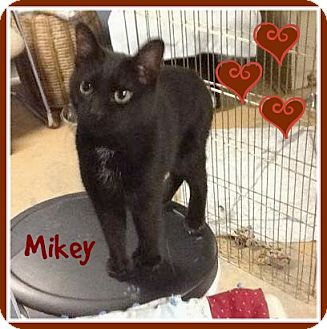 Domestic Shorthair Cat for adoption in New Richmond,, Wisconsin - Mikey