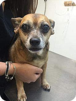 Chihuahua Dog for adoption in Martinez, Georgia - Carly