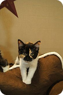 Domestic Shorthair Kitten for adoption in Detroit Lakes, Minnesota - Kiana