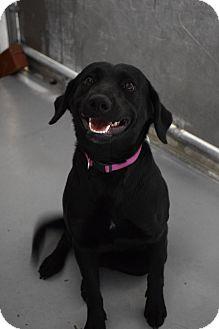 Labrador Retriever Dog for adoption in Lebanon, Missouri - Gabby