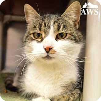 Domestic Shorthair Cat for adoption in West Kennebunk, Maine - Penelope