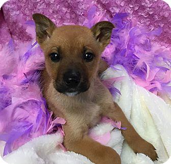 Labrador Retriever Mix Puppy for adoption in Anoka, Minnesota - Buttercup