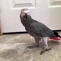 Adopt A Pet :: Sugar Baby - Congo - Blairstown, NJ