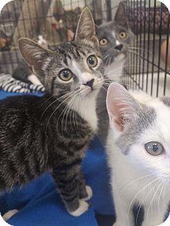 Domestic Shorthair Kitten for adoption in Bensalem, Pennsylvania - Samoa