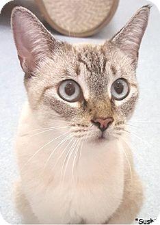 Siamese Cat for adoption in Key Largo, Florida - Sushi