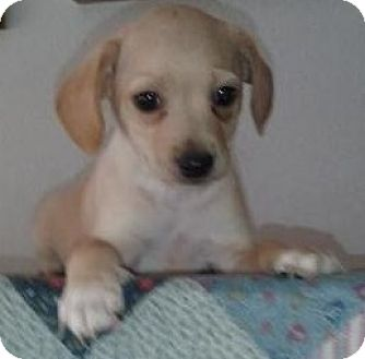 Jack Russell Terrier/Beagle Mix Puppy for adoption in Gilbert, Arizona - Max Oliver