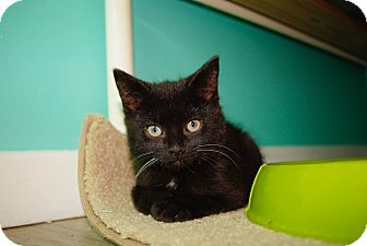 Domestic Shorthair Kitten for adoption in THORNHILL, Ontario - Maxwell