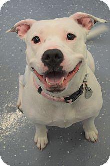 Pit Bull Terrier Mix Dog for adoption in Kalamazoo, Michigan - Spring