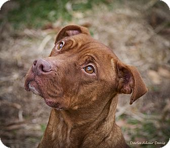 Pit Bull Terrier/Labrador Retriever Mix Dog for adoption in Lincolnton, North Carolina - Emma