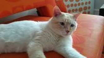 Domestic Shorthair Cat for adoption in Crown Point, Indiana - Pacino