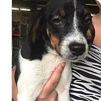 Adopt A Pet :: Elizabeth - Foristell, MO