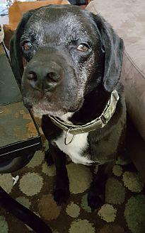 Spaniel (Unknown Type)/Terrier (Unknown Type, Medium) Mix Dog for adoption in Whitehall, Pennsylvania - Brando