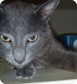 Domestic Shorthair Cat for adoption in Hamburg, New York - Toonsis