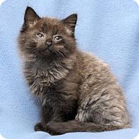 Adopt A Pet :: Nb Litter - Royal - ADOPTED - Livonia, MI