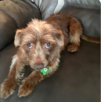 Terrier (Unknown Type, Small)/Dachshund Mix Dog for adoption in Hawthorne, California - Kahlua