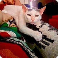 Adopt A Pet :: Lil Cat (At Pet Valu) - Baltimore, MD