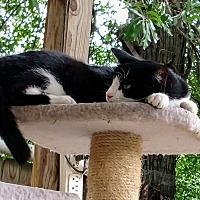 Adopt A Pet :: Bo Peep - Texarkana, AR