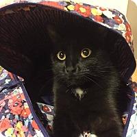 Adopt A Pet :: Onyx - Albany, NY