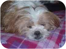 Lhasa Apso Mix Dog for adoption in Brooklyn Park, Minnesota - Maggie